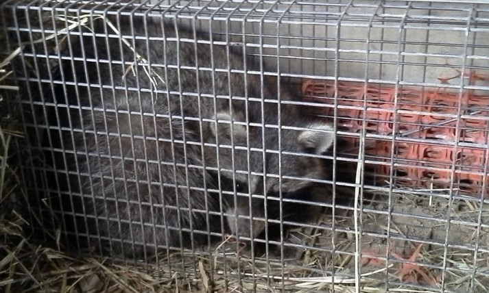Image -Raccoon in trap