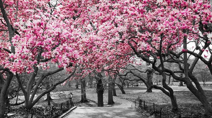 Image -Scenary Pink trees in Black & white
