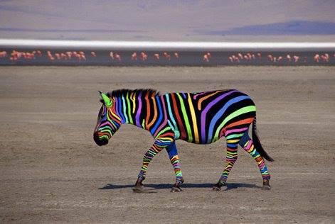 Image -Zebra different colors