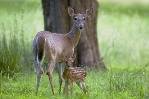 Image -Deer with baby